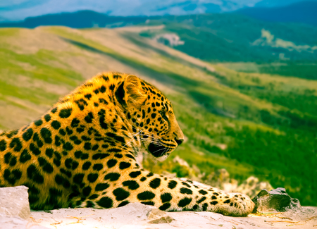 wildness: leopard on rock against wildness area