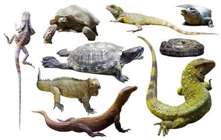 reptiles: set of various reptiles isolated on white