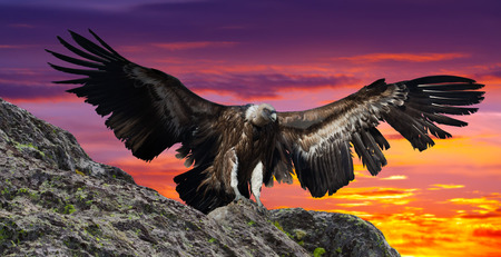 gyps: Flying gyps with huge wing span in multicolored sky and rocky mountains Stock Photo