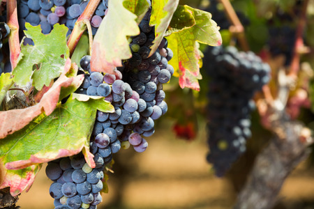 Close up on ripe bunch of grapes growing in vineyard