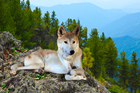 wildness: Gray wolf lays on rock in wildness area Stock Photo