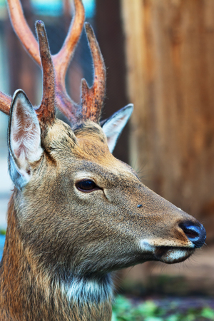 sika deer: Head of Sika deer (Cervus nippon) against blur background