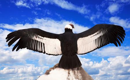 condor: Andean condor on rock  against  sky background