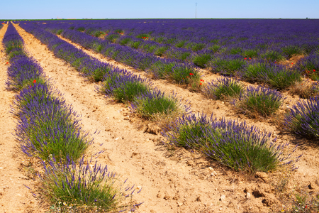 lavanda: Landscape with plant of   lavender  in sunny summer day