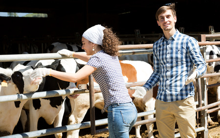 ruminate: Smiling young man and woman touching cows through the fence in the cowshed