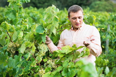 Young cheerful vintner checking wine grape and leaves in summer day