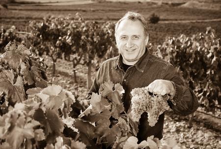 gathers: Mature glad man gathers grapes on vineyard