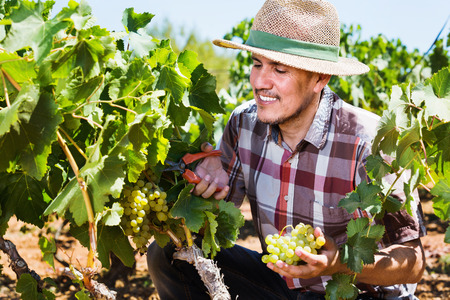 Smiling  positive mature man working on collecting ripe grapes on winery yard Stock Photo