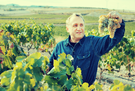 Man aged costs in grapevine and holds a grapes cluster