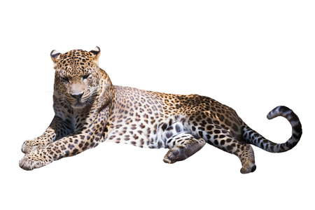 catamountain: An adult leopard resting. Isolated on white background