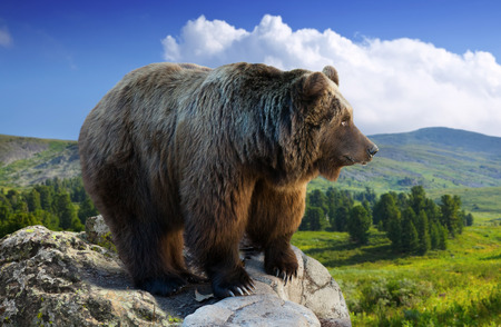 bear on rock in wildness area against mountains Stock Photo