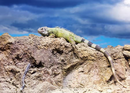 wildness: Green iguana at wildness area against sky