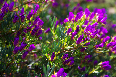 iceplant: Lampranthus multiradiatus plant  with flowers in spring Stock Photo