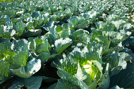 cole: cultivated cole growing on farming field in sunlight