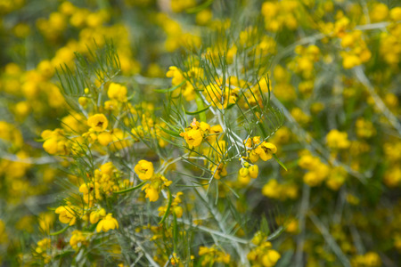 botanics: many small yellow flowers senna artemisioides on the field or the flowerbed