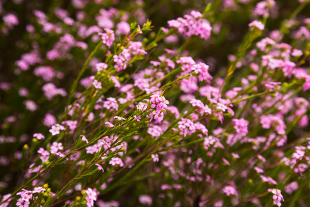 botanics: many small pink flowers coleonema pulchellum on the field or the flowerbed