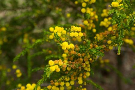 Close up of australian acacia truncata bright yellow flowers stock close up of australian acacia truncata bright yellow flowers stock photo 66464047 mightylinksfo