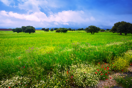 small field: landscape with uncultivated green grass, small field flowers and rainy clouds