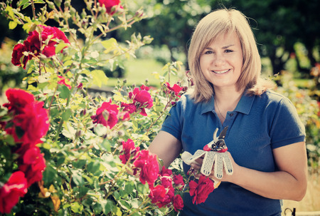 horticultural: Happy charming mature woman gardening red roses and holding horticultural tools on sunny day Stock Photo