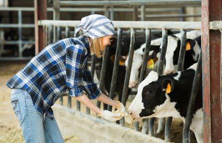 milker: Cheerful cowgirl in jeans taking care of cows in livestock barn