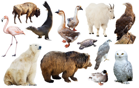 duck hawk in north america: Set of various north american wild animals including birds and mammals isolated on white