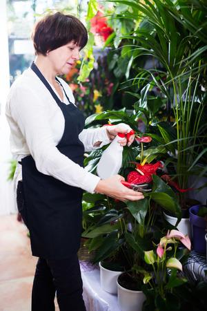 tending: Cheerful shop assistant tending red anturion in flower shop