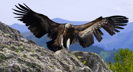Flying gyps with huge wing span in multicolored sky and rocky mountains Stock Photo