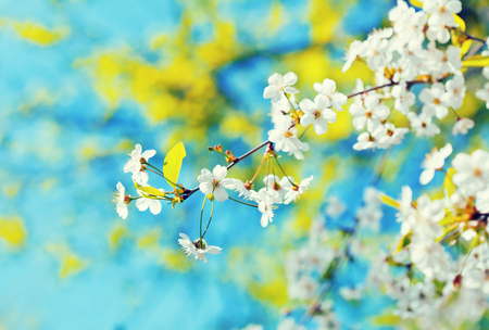 cherry tree branch with flowers against blur  spring foliage background