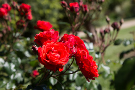 blossoming red bush rose plants in flowerbed in sunlight Stock Photo