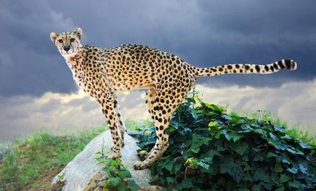 undomestic: Male cheetah standing  at wildness