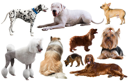 set of different purebred dogs isolated on white background Stock Photo
