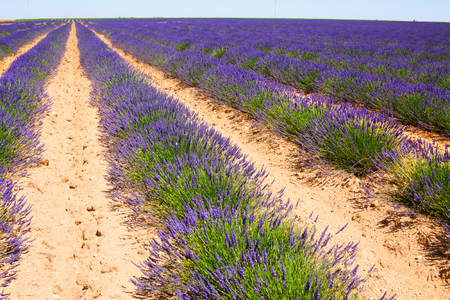 Landscape with  blue  lavender  in sunny summer day Stock Photo