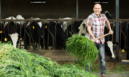 Positive mature farmer feeding cows with grass at the farm