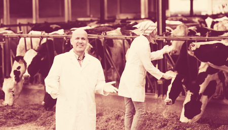 milkman: Professional vets working with cows in cowhouse outdoors