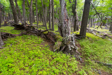 Beechen wood near foot of Andes mountains, Patagonia, Argentina, South America