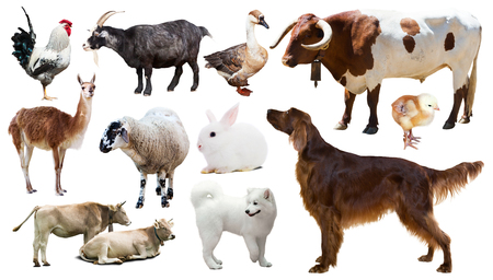 Set of bull, setter and other farm animals. Isolated over white background