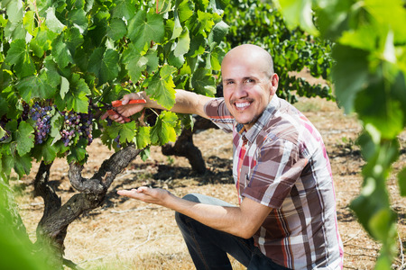 Portrait of positive man working on collecting ripe grapes on winery yard