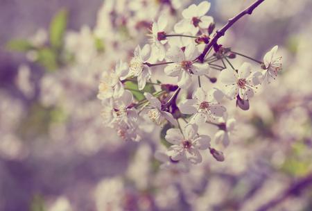 cherry tree branch in spring against  blur background
