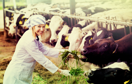 Smiling positive woman feeding cows with grass at cowhouse in farm