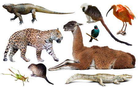 catamountain: assortment of many south american wild birds, mammals, reptiles and insects isolated on white background