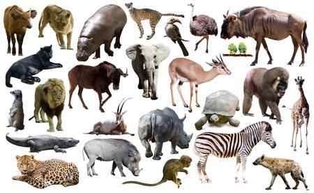 Ensemble de différents animaux africains isolés sur fond blanc