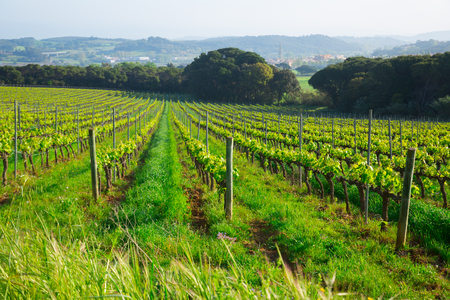 Vineyards are sunny in the spring season growing to make wine