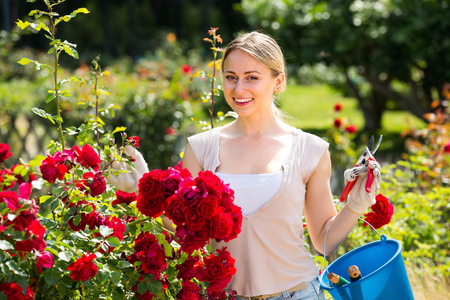 potěšen: merry young woman working with bush roses with horticultural tools in garden on sunny day Reklamní fotografie