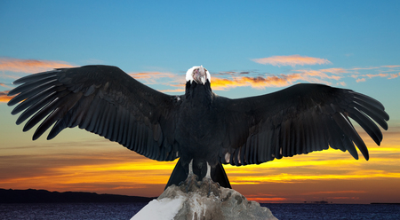 gyps: Andean condor on rock  against sunset sky background Stock Photo