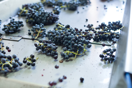 Purple grape on belt line for vine or juice producing