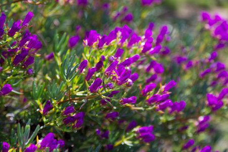 Ice-plant (Lampranthus multiradiatus) plant  with flowers in spring