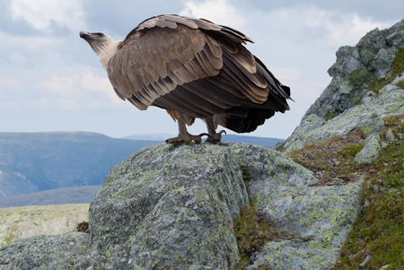 Griffon vulture (Gyps fulvus)  in wildness area