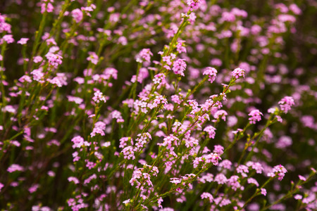 botanics: confetti bush little pink flowers coleonema pulchellum outdoors Stock Photo