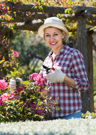 Smiling aged woman engaged in gardening pink roses with scissors in hands the backyard garden Banco de Imagens