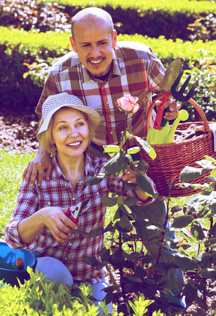 Happy senior couple taking care of roses in the summer garden